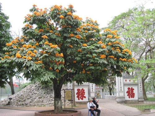 Cây vàng anh trồng ở cổng chùa