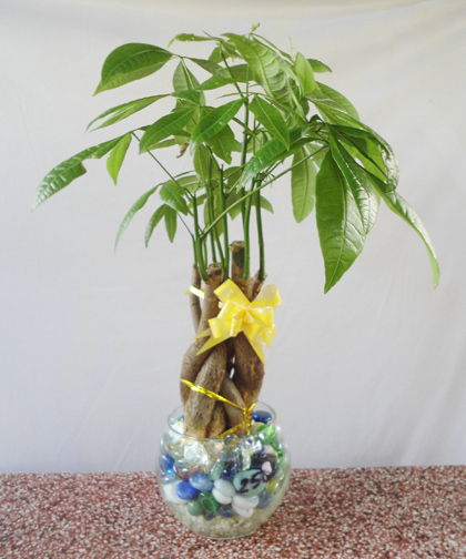 cây phong thủy cho người mệnh kim