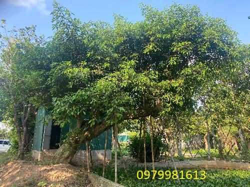 cây sung dáng siêu