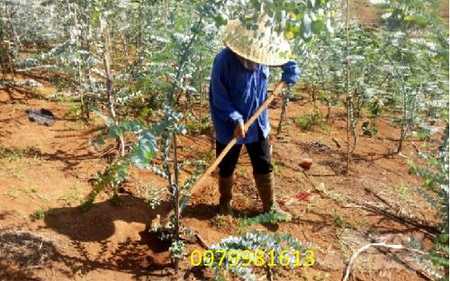 trồng cây đô la bạc