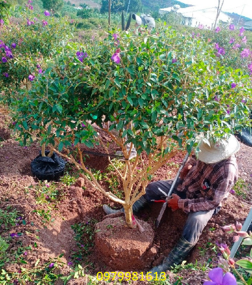 trồng cây hoa mua