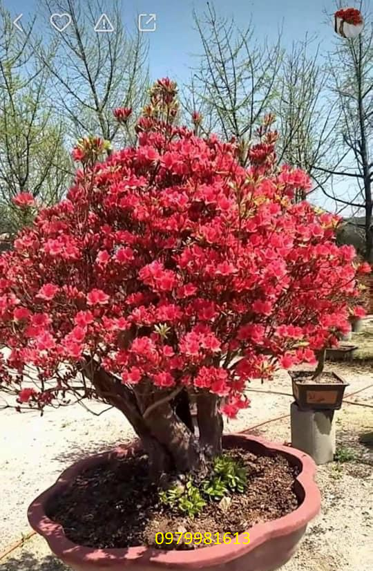 cây hoa đỗ quyên nữ hoàng bonsai