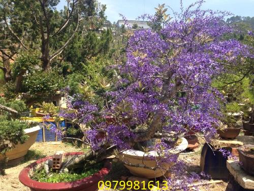 cây hoa mai xnah bonsai