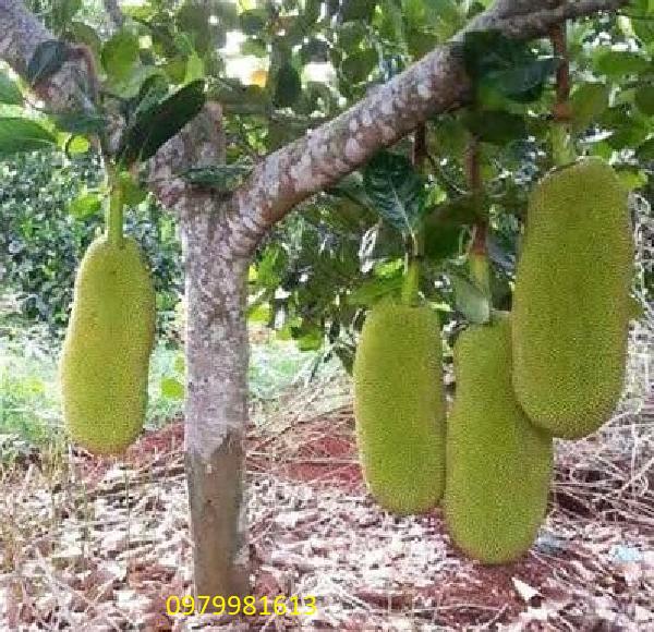 cây mít quả dài malaysia