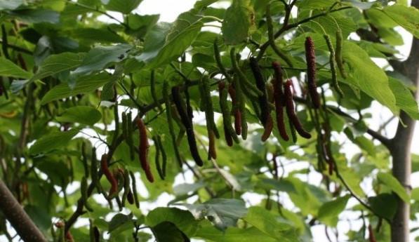 chùm dâu trái dài