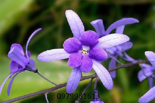 đặc điểm bông hoa mai xanh