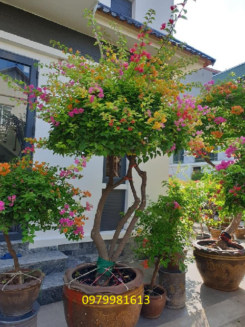 hoa giay ngu sac cao 2,5m