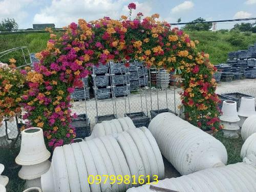 hoa giấy ngũ sắc vòm cổng