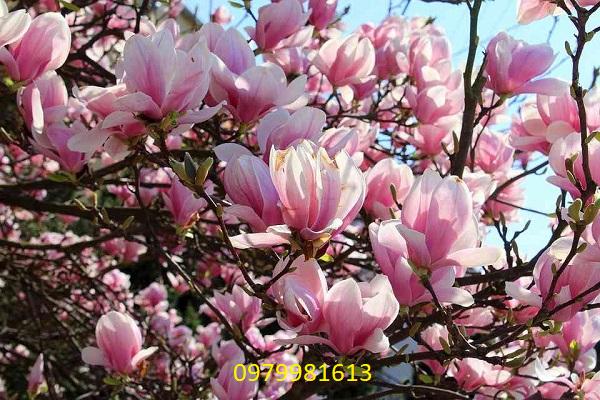 cay hoa moc lan hong