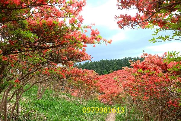 rừng hoa đỗ quyên nữ hoàng