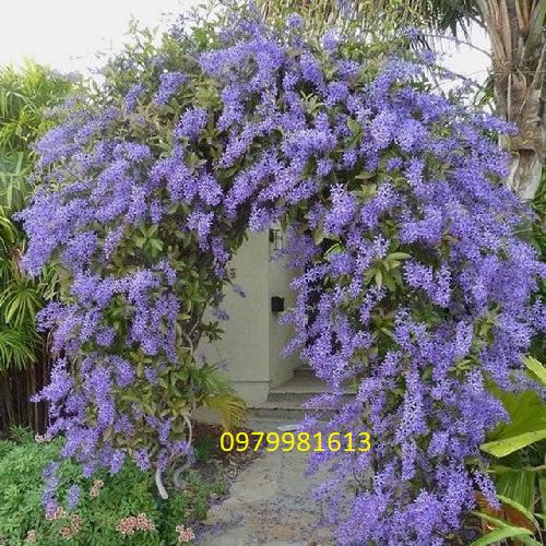 vòm cổng hoa mai xanh