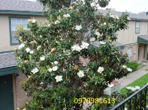 cây sen đất trồng cảnh quan